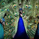 An Ostentation of Peacocks